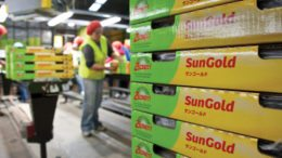 Sun Gold Distribution