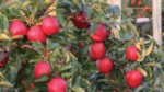 Michigan Apples Capture Hearts With Taste And Local Element