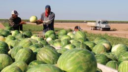 West Mexico Watermelon Harvest