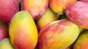 South American Mangos Cultivate New Direction
