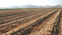 Keystone Onion Crop