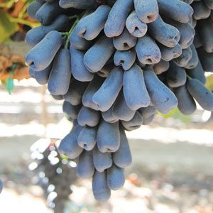 The Grapery's new Teardrop grapes