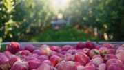 Maintaining Strong Apples Sales in Winter