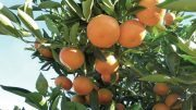 South African Citrus Shines in Summer