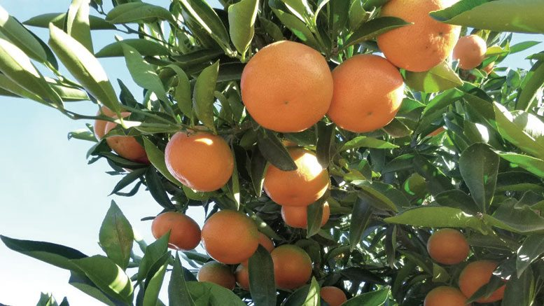 South African Citrus