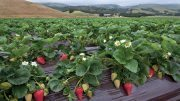 Organic Berry Sales Take Lead