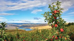 Washington Apple Orchards