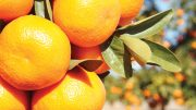 California Citrus: More Popular Than Ever