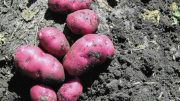 Red River Valley Potatoes