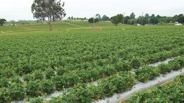 Well Pict Strawberry Crops