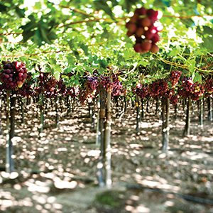 Chilean Grape Orchards