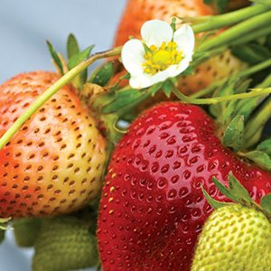Strawberries on the Stem