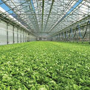 Ceiling Still Rising On Greenhouse Produce | Produce