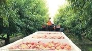 Southeast Peaches Are Synonymous With Summer